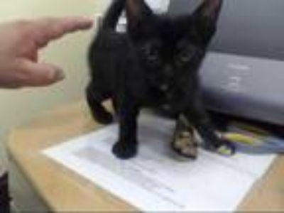 Adopt a Black (Mostly) Domestic Mediumhair / Mixed (medium coat) cat in Houston