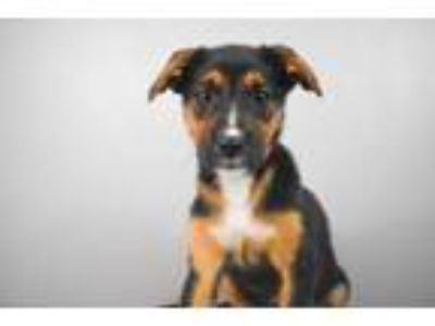 Adopt Louise a Cattle Dog, Mixed Breed