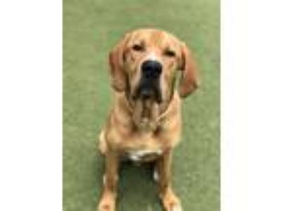 Adopt Ole Red a Bloodhound / Mixed dog in Birmingham, AL (25638087)