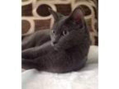 Adopt Alera a Domestic Short Hair