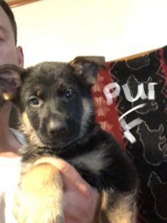 German Shepherd Dog PUPPY FOR SALE ADN-85568 - Akc German shepherd puppies 700