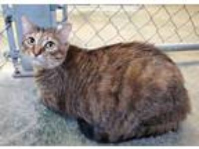 Adopt Pixel a Domestic Short Hair