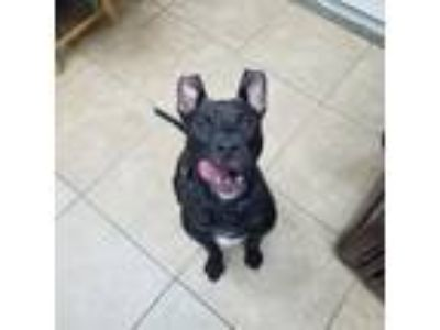 Adopt Casanova a Black American Pit Bull Terrier / Mixed dog in Reisterstown