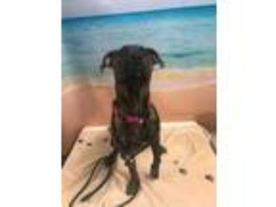 Adopt BELLA a Brindle American Pit Bull Terrier / Mixed dog in Tangent