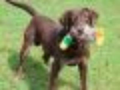 Bo Chocolate Labrador Retriever Dog