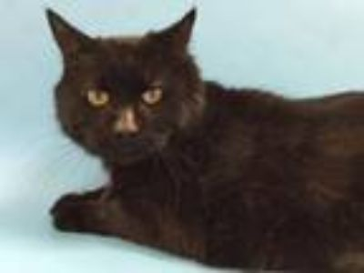 Adopt Black Out a Domestic Short Hair