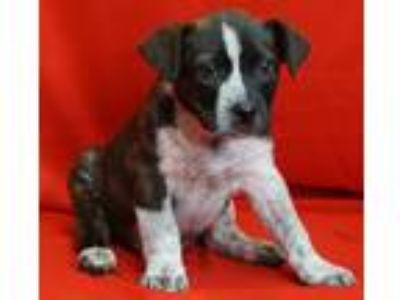 Adopt Elmo a Australian Cattle Dog / Blue Heeler