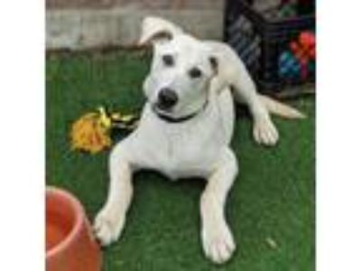 Adopt Yaeger a White Labrador Retriever / Shepherd (Unknown Type) / Mixed dog in