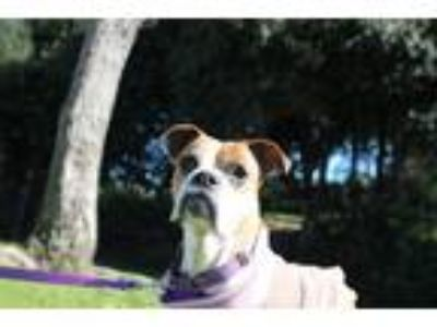 Adopt Dorothy a Tan/Yellow/Fawn - with White Boxer / Mixed dog in Alameda