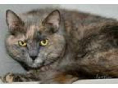 Adopt Harvest a Gray or Blue Domestic Shorthair / Domestic Shorthair / Mixed cat