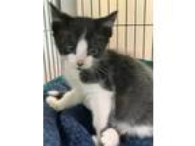 Adopt Harper a All Black Domestic Shorthair / Domestic Shorthair / Mixed cat in