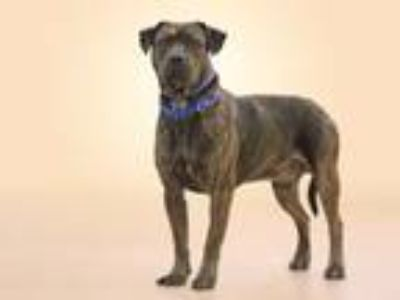 Adopt MAX a Pit Bull Terrier, Mixed Breed