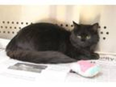 Adopt Shaggy a Domestic Short Hair