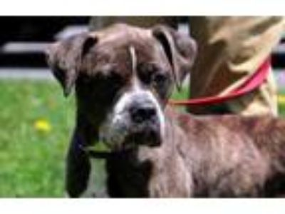Adopt Sky a Brindle Boxer / Mixed dog in Pittsfield, MA (25350218)