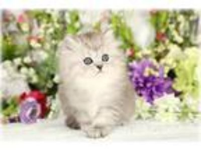 Pre-Loved Persian Kittens For Sale