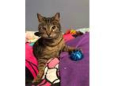 Adopt Puma a Brown Tabby Domestic Shorthair / Mixed cat in Mount Laurel