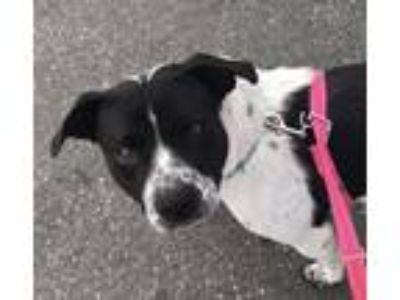 Adopt Shylo a Staffordshire Bull Terrier / Mixed dog in Chico, CA (20188860)