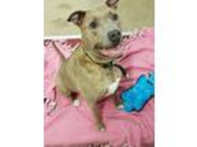 Adopt Ily a Brown/Chocolate American Staffordshire Terrier / Mixed dog in