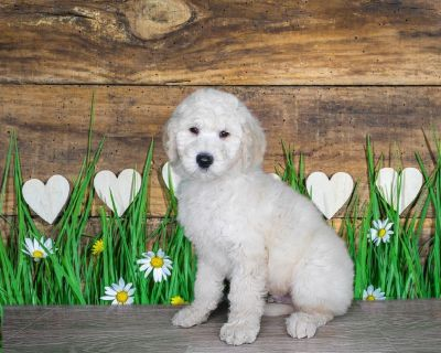Luke is a Goldendoodle 2nd gen! www.PuppiesForSaleToday.com