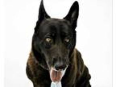 Adopt LEROY a Black German Shepherd Dog / Mixed dog in Orlando, FL (25876959)