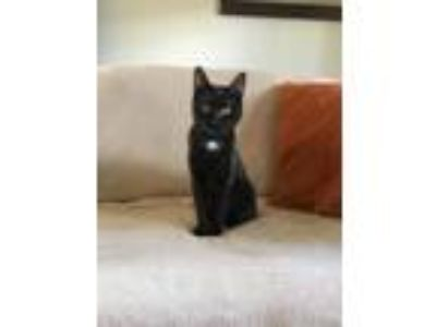 Adopt Swimmer a Black (Mostly) Domestic Shorthair (short coat) cat in