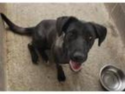 Adopt BLOOBERRY a Labrador Retriever / Mixed dog in Tampa, FL (25260213)