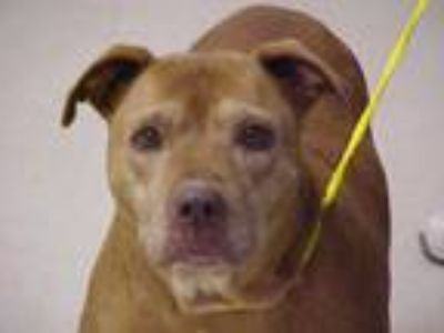 Adopt Shelli a Pit Bull Terrier