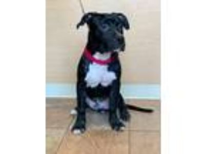 Adopt Bing a Black - with White Pit Bull Terrier / Mixed dog in Brooklyn
