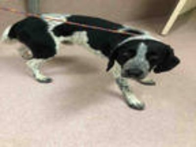 Adopt BROCK a Black - with White Bluetick Coonhound / Mixed dog in York