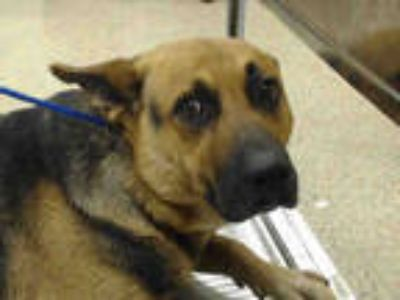 Adopt SWEETUMS a Brown/Chocolate - with Black German Shepherd Dog / Mixed dog in