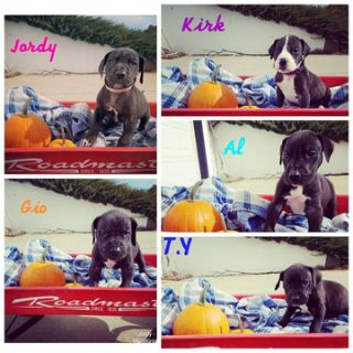 Great Dane PUPPY FOR SALE ADN-103933 - AKC Registered Great Dane Litter Born Sept 28