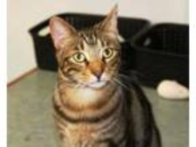 Adopt Calvin a Domestic Short Hair