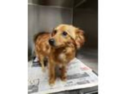 Adopt Brownie a Brown/Chocolate Pomeranian / Mixed dog in Louisburg