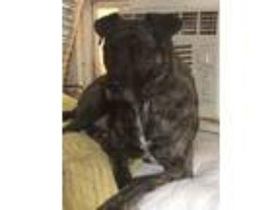 Adopt Luke a Pit Bull Terrier