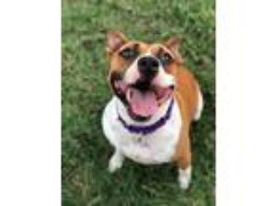Adopt Bella Mar a Tan/Yellow/Fawn - with White Pit Bull Terrier dog in Allen
