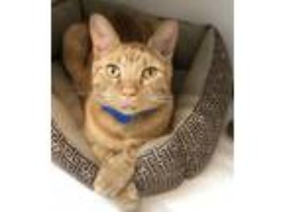 Adopt Avail 6/11 Jackson Cage2 4yr Click 4 Info a Domestic Short Hair