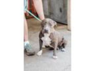 Adopt Mallory a Gray/Blue/Silver/Salt & Pepper American Pit Bull Terrier / Mixed