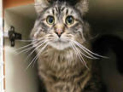 Adopt *POTATO* a Brown Tabby Domestic Shorthair / Mixed (short coat) cat in Salt
