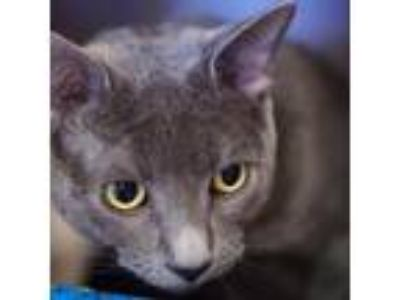 Adopt Pup a Chartreux, Domestic Short Hair