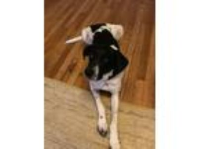 Adopt Prince a Black - with White Hound (Unknown Type) / Pointer dog in