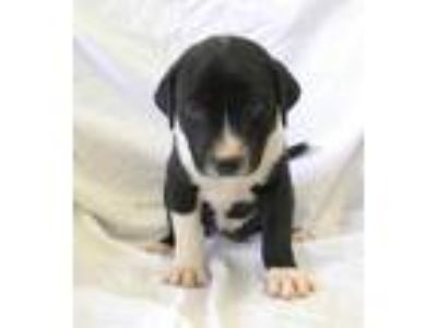 Adopt Vanessa a Black Labrador Retriever / American Pit Bull Terrier / Mixed dog