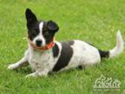 Adopt BLANC a Black - with White Terrier (Unknown Type, Medium) / Mixed dog in