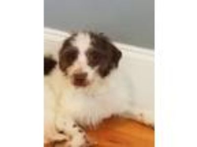 Adopt Renner a White - with Brown or Chocolate Terrier (Unknown Type