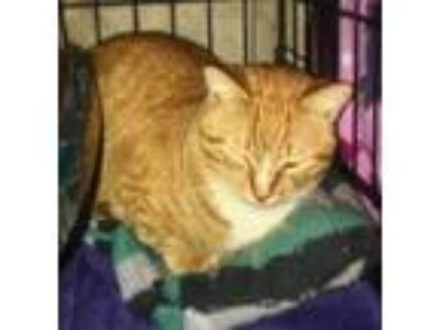 Adopt Carlitos a Orange or Red Tabby Domestic Shorthair (short coat) cat in