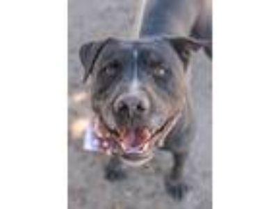 Adopt Cash Meyer a Pit Bull Terrier / Labrador Retriever / Mixed dog in Seattle