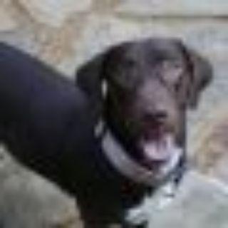 Kelly Kapowski Labrador Retriever - Basset Hound Dog