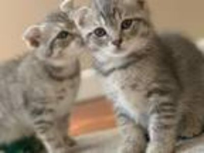 Scottish Fold Boys And Girl