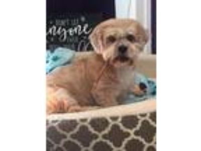Adopt Tierney a Tan/Yellow/Fawn Shih Tzu / Mixed dog in Indianapolis