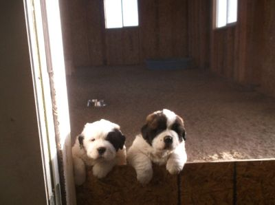 AKC St. Bernard puppies