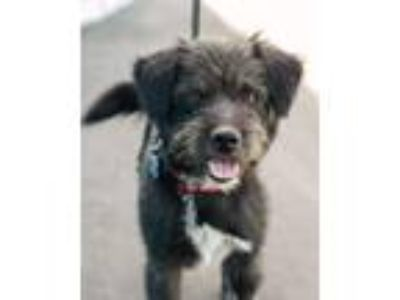 Adopt Toto a Terrier, Miniature Poodle